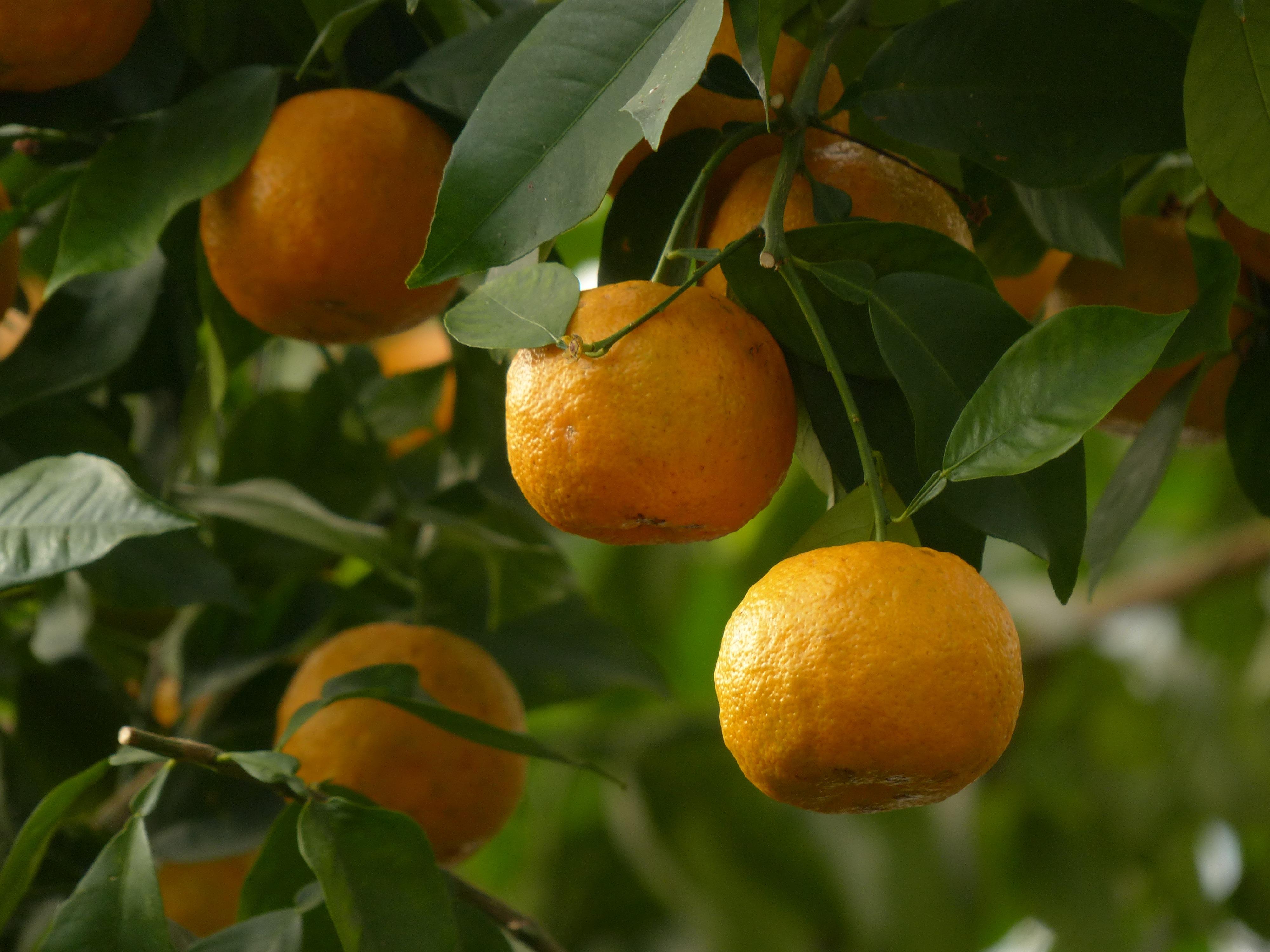 Alles über Citrus Aurantium (Synephrin)  auch bekannt als Bitterorange